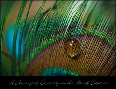 A Journey of Discovery in the Art of Capture (Imagemakercan - The Lensdancer) Tags: brown macro water closeup droplets drops turquoise teal feathers inspired blues peacock romance greens copper romantic colourful waterdroplets challenge nikond2x nikkor60mm lensdancer