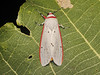 Aloa lactinea (Cramer, [1777]) (P.S.SIVAPRASAD) Tags: moth lepidoptera moths noctuidae arctiinae aloa arctiini mothsofindia mothsofkerala aloalactinea lactinea
