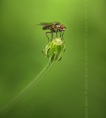 Fly queen