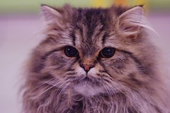 Filou4 (Lefort Johan) Tags: portrait cats baby cute cat kitten chat pentax johan mignon chaton persan lefort bestofcats k200d lefortjohan