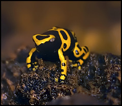 Yellow Banded Poison Dart Frog (Steve Wilson - need to up my game) Tags: uk greatbritain brazil england black color colour macro toxic animal yellow gardens america forest photoshop garden zoo nikon rainforest costarica colorful cheshire britain venezuela wildlife south great large conservation amphibian frog bumblebee chester tropical plugin fractal colourful d200 poison captive dart poisondartfrog largest dendrobates captivity venomous upton venom banded chesterzoo zoological toxicity dendrobatidae zoologicalgarden zoologicalgardens leucomelas nikond200 dendrobatesleucomelas fractalius caughall