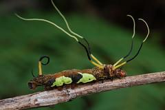 Silkworm caterpillar (ggallice) Tags: rain forest insect ecuador amazon rainforest reptile snake wildlife orellana yasuninationalpark parquenacionalyasuní yasuniresearchstation estacióncientíficayasuní