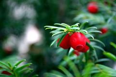 Eibenbeeren (AK_74) Tags: fruit berry yew beere frucht eibe