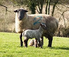 Ewe 2 (annicariad) Tags: wales sheep cymru lambs baaaaa annicariad