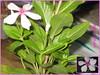 ROSE (Saffo0o) Tags: pink flower green rose وردة زهرة وردي اخضر فوشي بمبي