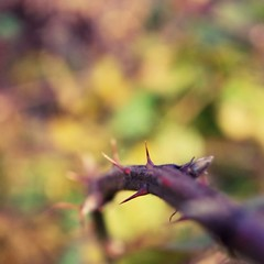 ouch factor. (kleine_moewe) Tags: autumn plant fall dof vine thorns squarecrop natureycrap