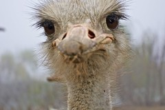 I like his eyes(Ostrich #3) (Go 4 IT) Tags: fall birds silver flickr award ostrich 365 photocontest amateur 2010 photohobby kitlenses animalsfarm flickrobsession bwg flickrphotocontest anythingyoulike flickrgoldaward flickraward flickrbronzeaward heartawards flckrhearts flickrsun floraandfaunaoftheworld goldstaraward peaceawards beautifulshot 100commentgroup doubledragonawards bagroupimages artofimages dragonflyawards platinumpeaceaward pentaxk7 flickrbronzeawardgroup flickrsgottalent mygearandmepremium mygearandmebronze mygearandmesilver mygearandmegold mygearandmeplatinum betterthangoodlevel1 bestchoice photohobbylevel1 blinkagainforinterestingimages evghenitirulnic