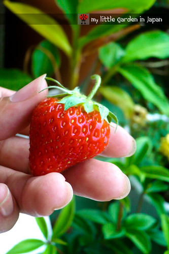 strawberries-in-my-little-garden-in-japan-4