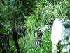 Sur le sentier d'I Scarpi : un invraisemblable mouflon à 450m d'altitude (???)