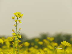Mustard Flower (Asif Adnan Shajal) Tags: flower nature yellow rural countryside asia village bongo mustard gram bangla southasia mustardflower chuadanga framebangladesh asifadnanshajal chuadangabangladesh