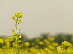 Mustard Flower (Asif Adnan Shajal) Tags: flower nature yellow rural countryside asia village bongo mustard gram bangla southasia mustardflower chuadanga framebangladesh asifadnanshajal chuadangabangladesh