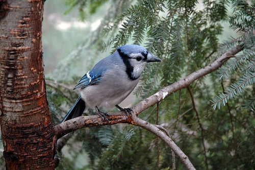 Jay in tree