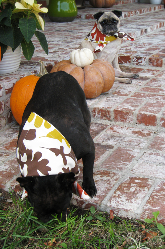 dogs dressed up on thanksgiving