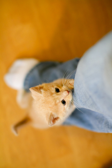 cute ginger cream foster kitten