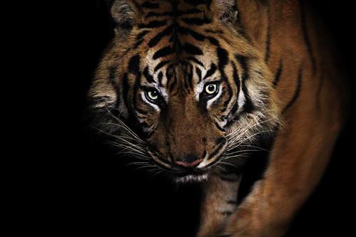 フリー写真素材|動物|哺乳類|ネコ科|虎・トラ|