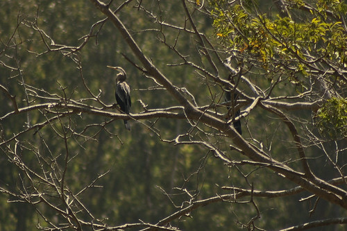 Darter(Snake Bird)