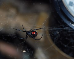 the importance of gardening gloves (kathleen walsh) Tags: spider blackwidow poisonous creepycrawler evilmini