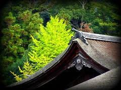 Itsukushima Shrine and Ginkgo tree - treated (M_Strasser) Tags: japan shrine hiroshima miyajima shinto itsukushima