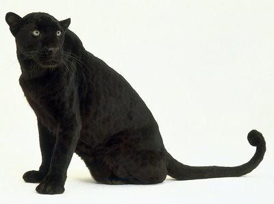 Black+Leopard