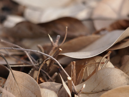 Chionanthus retusus var. serrulatus