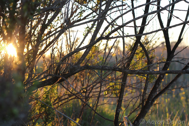 Sun Peering Through Scrub