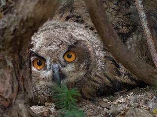 Juvenile Eurasian eagle-owl / Jung-Uhu (Bubo bubo)