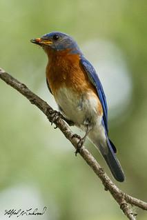 Eastern Bluebird_20A1151