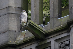 Peregrine Falcon 9P1A6934a Flickr.          Best viewed @2048 pixels (Adrian Dancy) Tags: nature wildlife wildbird peregrinefalcon peregrine falcon falcoperegrinus urban urbanperegrine urbanperegrines persecuted persecution rochdale perched rochdaletownhall