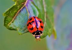 Ladybug (Menochilus sexmaculatus) (Changer4Ever) Tags: nikon d7200 nikkor insect animal life nature ladybug wild wildlife outdoor macro closeup dof depthoffield bokeh color colorful