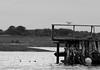 Hettmåke passer på sine små (AH Robberstad) Tags: langøy hettemåke blackheadedgull
