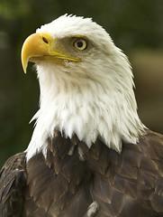 Happy 241 (ucumari photography) Tags: ucumariphotography americanbaldeagle haliaeetusleucocephalus eagle bird animal zooatlanta atlanta georgia ga july 2017 independenceday dsc9282 specanimal
