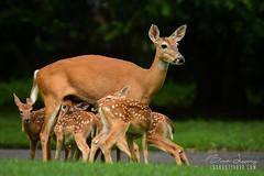 Mother Deer + Five Fawns (Brad Lackey) Tags: deer fawn whitetaildeer newborn five field morning sunrise summer wildlife outdoors berrycollege rome georgia tamron150600mm d7200