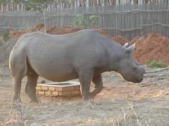 P1140595 Zimbabwe (45) (archaeologist_d) Tags: zimbabwe zambezinationalpark wildlife blackrhinoceros rhinoceros africa southernafrica safari