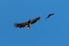 Formation Flying (jah_1315) Tags: eagle bald fly nikon lake woods canada day minnesota fishing black bird