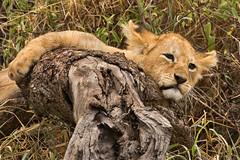 Lions of Maasai Kopjes 419 (Grete Howard) Tags: bestsafarioperator bestsafaricompany africa africansafari africanbush africananimals whichsafaricompany whichsafarioperator tanzania serengeti animals animalsofafrica animalphotos lions lioncubs maasaikopjes kopjes kopje