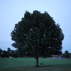 Tree on Coley Park (ceasedesist) Tags: tree night lumix panasonic dslr gf1 readingberkshire coleypark squarephotography micro43 20mmpancakelens