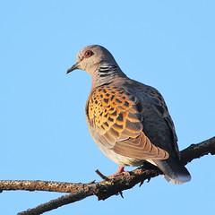 Rola-brava (dragoms) Tags: bird portugal dove ave birdwatcher rola turtledove linhares streptopeliaturtur rolabrava linharesdeansies dragoms
