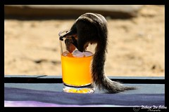 Orange for thirst (Dihan_DS) Tags: orange water animal drink drinking thirsty squirrely slpweekendchallengewinner