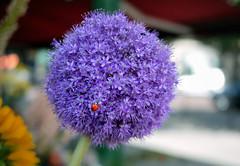 296/365 28.07.2010 (Jack_from_Paris) Tags: flower fleur project lumix dof purple bokeh violet micro ladybird 365 43 project365 365days dmcgf1 pancake20mmf17asph p1000200gf1