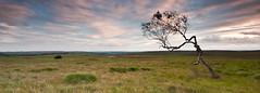 All alone on Big Moor-6525 (Rob Ferrol) Tags: old sky cloud motion blur detail tree bar silver dead big moody district pano derbyshire peak blurred lone birch moor chesterfield owler