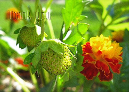 Strawberry Marigold notecard