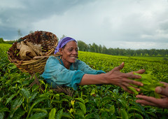 Woman picking up tea in Wushi Wushi plantations, Ethiopia (Eric Lafforgue) Tags: 734 etipia tribo       thiopien etiopa  ethiopi etiopia  etiopien etiopija  etiyopya    ethiopie tribe tribal tribu tribes ethnic ethnology ethnie culture tradition tea plantation recolte labor labour labeur travail work effort sourir smiling sourire smile hapiness bonheur joie joy abyssinie afriquedelest plantationdethedewushiwushi wushiwushiteaplantation plantationdethe teaplantation cueillette cueillir pickingup pickup panier basket bandana headband