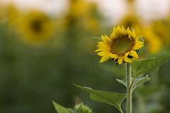 Sunflower field round 2 (Raf Ferreira) Tags: ontario flores flower field hamilton sunflower campo rafael girassol hfg ferreira peixoto girassis flambrough