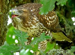 Red-tailed Hawk (orencobirder) Tags: flickrexport hawks digiscope largebirds