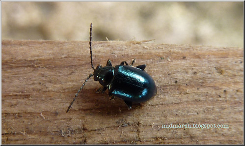 Chrysolina  Beetle