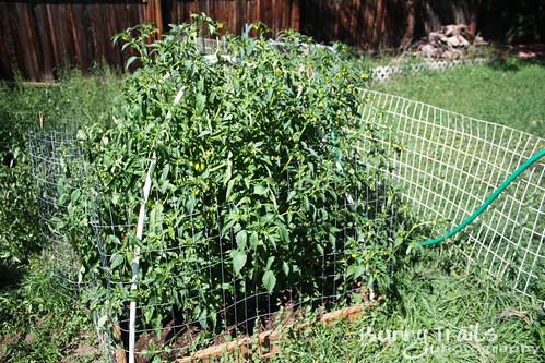 241-tomatoes
