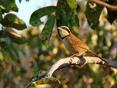 Melanopareia torquata. Cerrado. Itiquira. MT. Brasil (Curcino, Alexandre) Tags: aves cerrado avifauna melanopareiatorquata