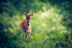the prized possession (andrew evans.) Tags: morning trees summer england nature fairytale forest countryside kent woods nikon bokeh wildlife deer wonderland storybook magical 70200 f28 enchanted d3 highqualityanimals