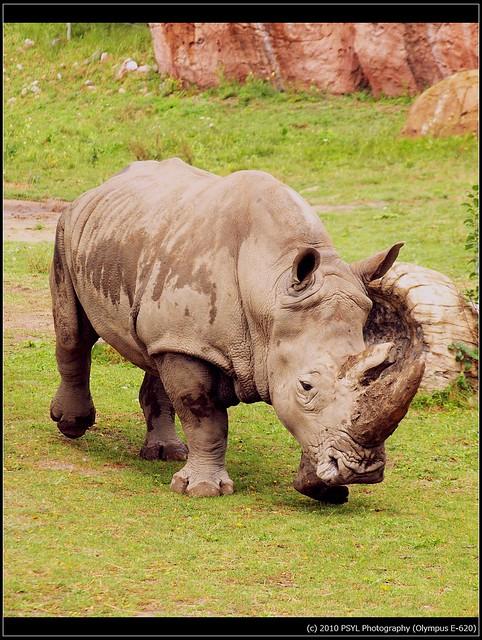 White Rhinoceros (Ceratotherium simum simum)