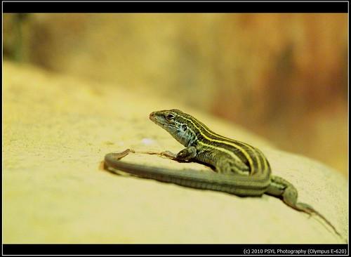 Grassland Whiptail Lizard (Cnemidophorus uniparens)